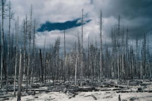 Burned Forest - Yellowstone, Wyoming - 2018