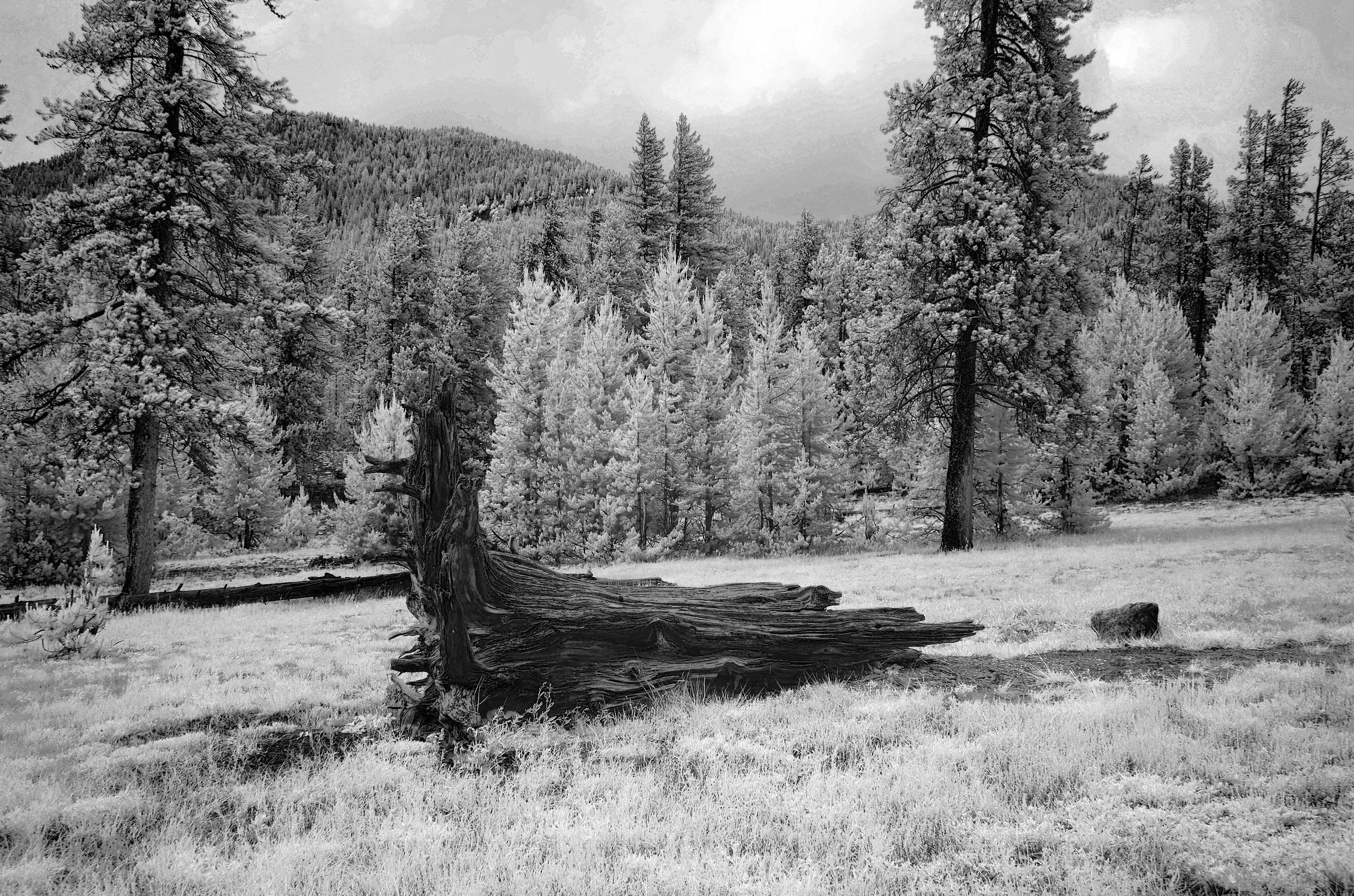 Stump - Yellowstone, Wyoming - 2018