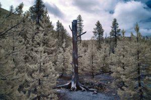 Dead tree - Yellowstone, Wyoming - 2018